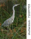 grey heron on a pond | Shutterstock . vector #710397955
