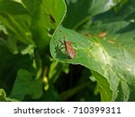 Squash Bug  Or Shield Bug On A...
