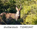 Blesbok Standing And Staring At ...