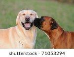 Stock photo boxer dog an labrador dog in love 71053294
