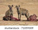 two spotted hyena eating its prey in the savanna of africa (Crocuta crocuta)