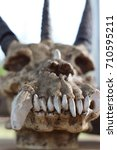 three horned skull with a... | Shutterstock . vector #710595211