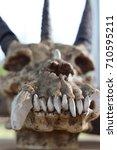 three horned skull with a... | Shutterstock . vector #710595211