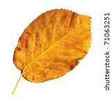 Small photo of Undersurface of a leaf of the Snowy Mespilus in autumn, Amelanchier ovalis