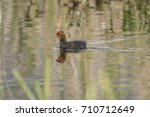 a coot  juvenile  swimming on a ... | Shutterstock . vector #710712649