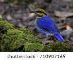 male of blue pitta  hydrornis... | Shutterstock . vector #710907169