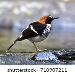 chestnut naped forktail ... | Shutterstock . vector #710907211
