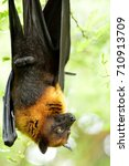 lyle's flying fox  pteropus... | Shutterstock . vector #710913709