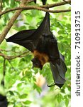 lyle's flying fox  pteropus... | Shutterstock . vector #710913715