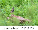 rain quail or coturnix...   Shutterstock . vector #710975899
