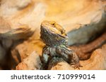 detail of agama's face in... | Shutterstock . vector #710999014