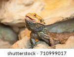 detail of agama's face in... | Shutterstock . vector #710999017