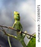 chameleon | Shutterstock . vector #711005071