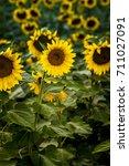 Single Large Yellow Sunflower...