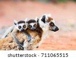 female ringtailed lemur  lemur... | Shutterstock . vector #711065515