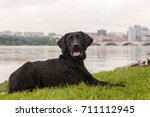 black labrador retriever... | Shutterstock . vector #711112945
