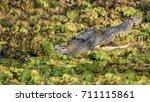 saltwater or estuarine... | Shutterstock . vector #711115861