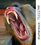 Mouth Of Monkey   Baboon