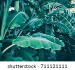 banana tree  dark green foliage ... | Shutterstock . vector #711121111