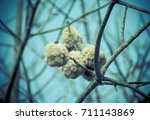 close up of ripe cotton bolls... | Shutterstock . vector #711143869