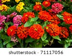 Red Zinnia Flower Floral