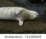 Sleeping White Harbor Seal At...