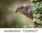 Portrait Of Head Of Goshawk....