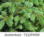Green  Spruce Branches As A...