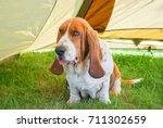 Small photo of Dog, basset hound sitting on green grass inside a light brown tent install in garden. Lovely and kindness dog a little bit fat.