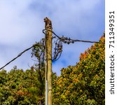 electrical pole with a monkey... | Shutterstock . vector #711349351