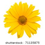 Yellow Daisy Flower