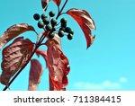 frangula alnus  alder buckthorn ... | Shutterstock . vector #711384415