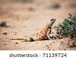 Lizard In Desert Of Central...