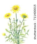 yellow daisies watercolor...   Shutterstock . vector #711400015