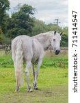 Fleabitten Grey Horse Standing...