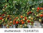 Exhibition Harvest  Strawberry...