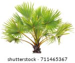 young betel palm on isolate...   Shutterstock . vector #711465367