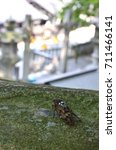 Small photo of Aburazemi(Graptopsaltria nigrofuscata) - Brown cicada inhabiting Japan