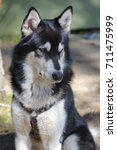 Small photo of Alaskan Malamute Pose Forest Gorgeous Selective focus