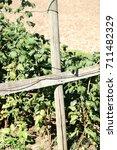 Small photo of Cruciform wooden pillars support a raspberry bush / Raspberry bush