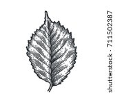 engraving birch leaf isolated...   Shutterstock .eps vector #711502387