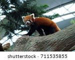 tiny cute red panda walking on... | Shutterstock . vector #711535855