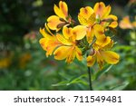Small photo of Alstroemeria aurea