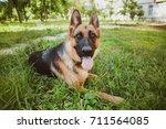 german shepherd  german... | Shutterstock . vector #711564085