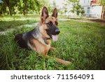 german shepherd  german... | Shutterstock . vector #711564091