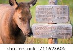 young elk nuzzles a trail sign... | Shutterstock . vector #711623605