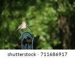 A Female House Finch Is...