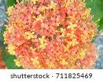 Small photo of Ashoka tree flower, Saraca sp., Central of Thailand