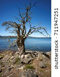Small photo of Dead conifer on Alumine Lake, Villa Pehuenia, Neuquen, Patagonia, Argentina