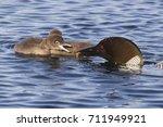 common loon feeding a waterbug... | Shutterstock . vector #711949921